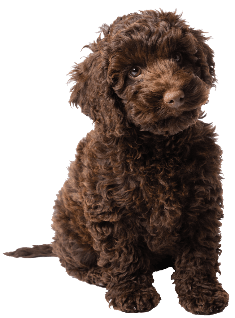 chocolate labradoodle puppy sitting
