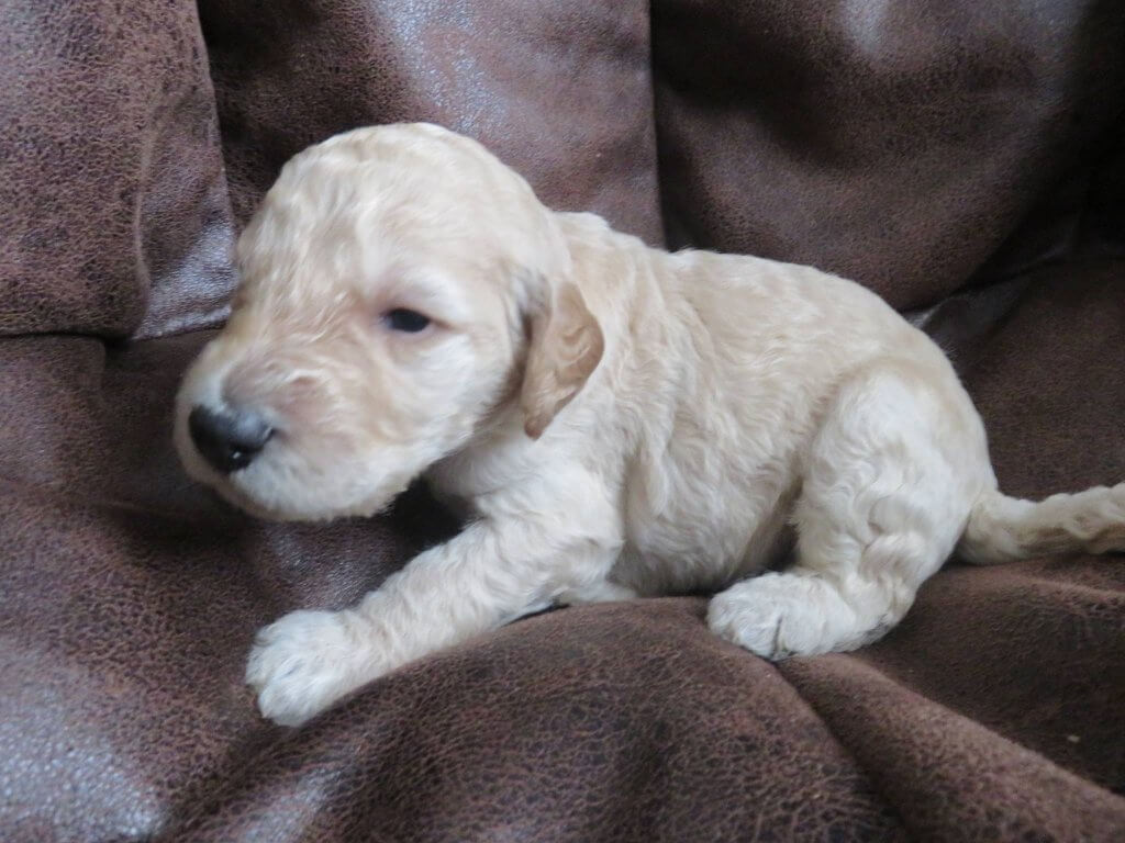 Sumac-male Labradoodle puppy