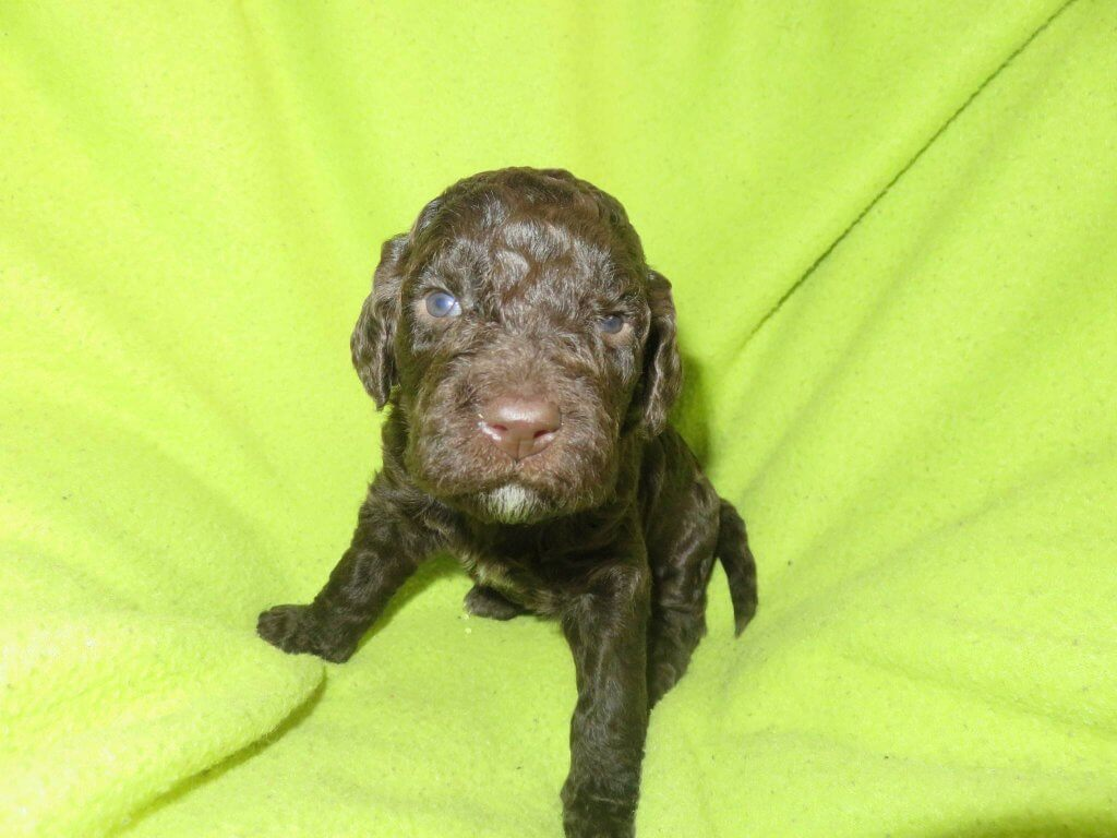 Willow-female Labradoodle puppy