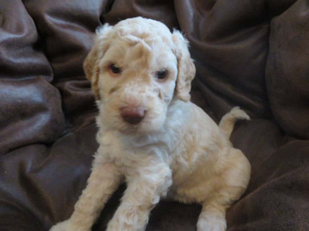 Holly-female Labradoodle puppy