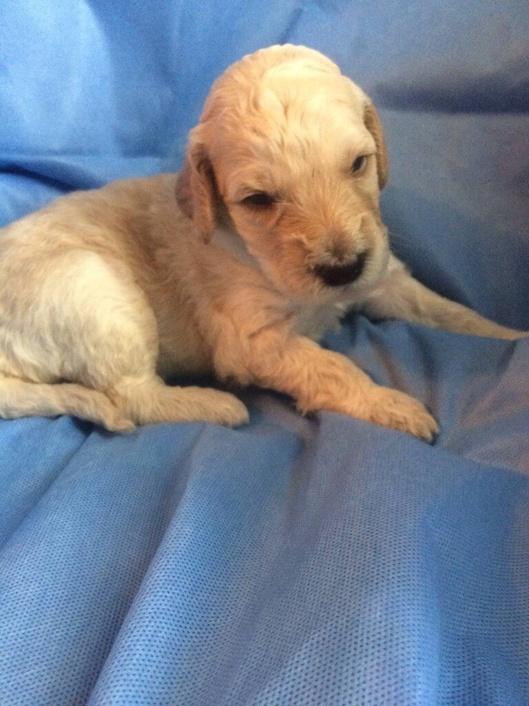 Chaos-male Labradoodle puppy