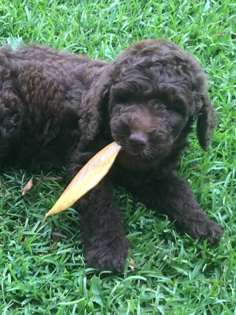 Aster-male Labradoodle puppy