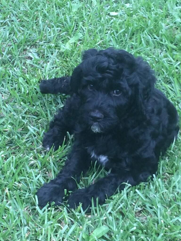 Hercules-male labradoodle puppy