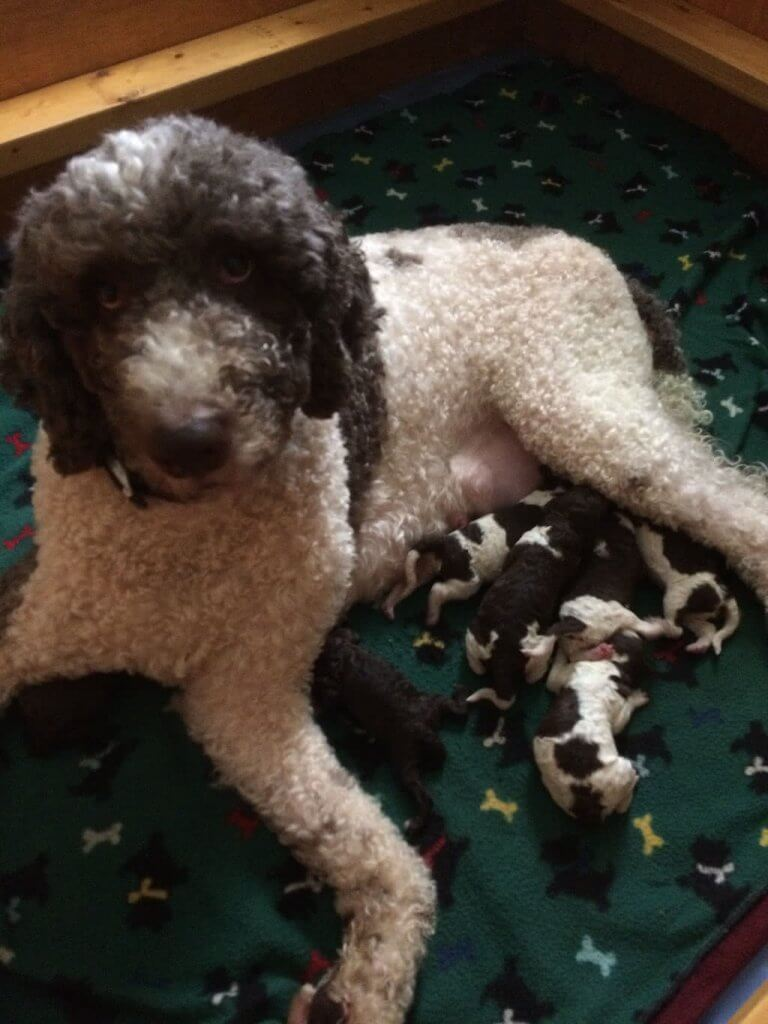 Stella with parti puppies